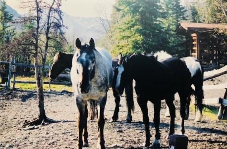 Alaska horses