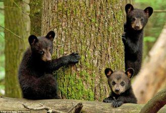 bear SMNP